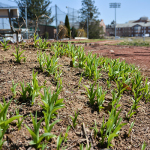 With warmer weather, many plants are beginning to grow and beautify the campus.