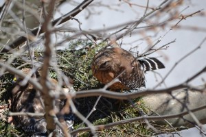 One of the parent hawks. Photo by Matthew Ogorzalek.