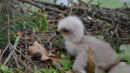 A hawk chick outside Whiteford Hall. Photo by Matthew Ogorzalek.