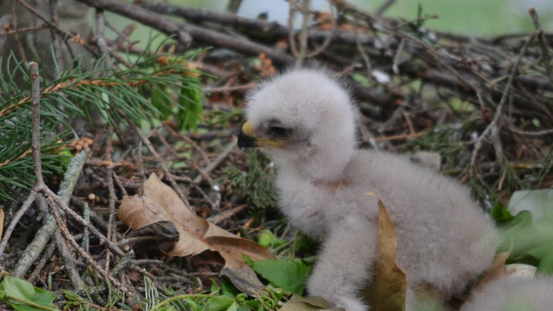 A hawk chick outside Whiteford Hall. Photo by Matthew Ogorzalek.